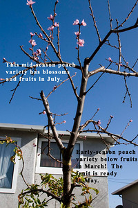 """Example 4: This peach tree grows an early variety called """"Desert Gold.""""  The peaches are so early that I get fruit in March and I can start harvesting in May; the entire crop is gone by late May.  In order to extend the fruiting life of the tree, I grafted a variety called """"Phil's Twin"""" that ripens later, so the tree produces fruit for a longer period.  For the home gardener, it's far better to harvest smaller amounts of separate varieties at different times than have a lot of fruit of the same variety at the same time."""