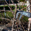 Step2: Here I'm using a digital vernier caliper on a plum branch to measure the diameter to the third decimal place.  I had grafted the top of the branch last year, but the graft did not succeed.