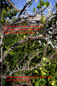 Example 2: These are two other branches of the same plum tree where I have grafted nine varieties.  This picture also illustrates that some varieties come out of dormancy at different times than others.  In March 2009, the earlier varieties already have blossoms, while the late varieties are still in dormancy.  The home gardener has limited space and time, and it's useful to be able to grow multiple varieties on the same tree.  With this approach, I can harvest varieties at different times and extend the harvest season of the tree.