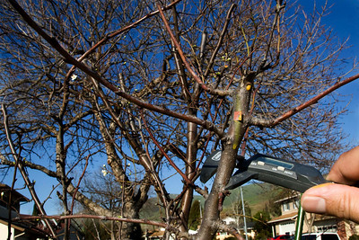 Step2: In March the fruit trees start to come out of dormancy.  I decide where I want to graft on each fruit tree.  One of the keys to success is to match the diameters of the scion and the host branch, so I take precise measurements to the third decimal place.