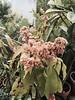 2015: Mango Blossoms