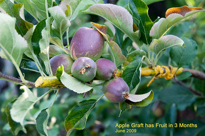 This is an apple variety that I had grafted in mid March.  I have fruit on the new graft in three months!  This dwarf apple tree now has twelve varieties of apples!