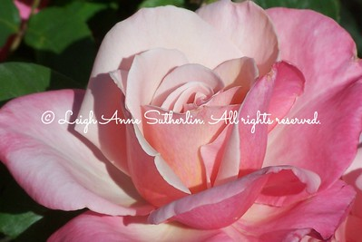 Tiffany Tea Rose