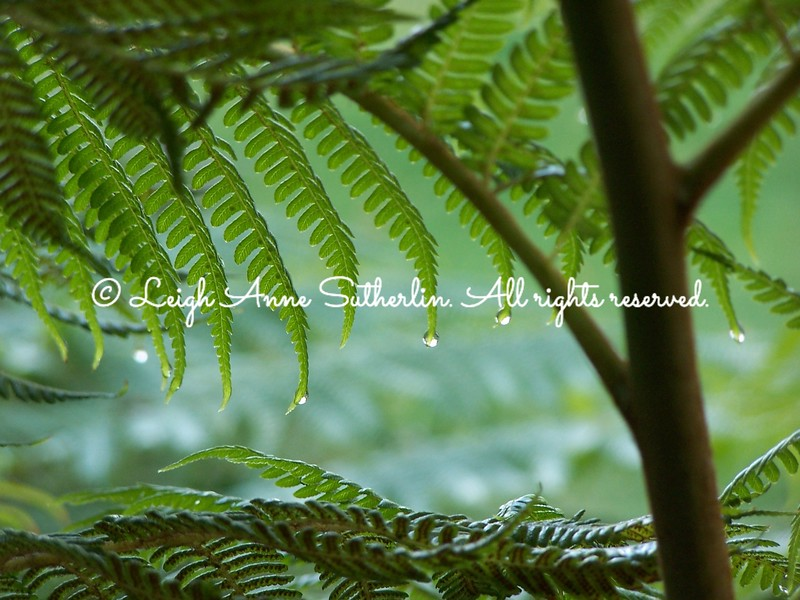 Australian Tree Fern in the Rain