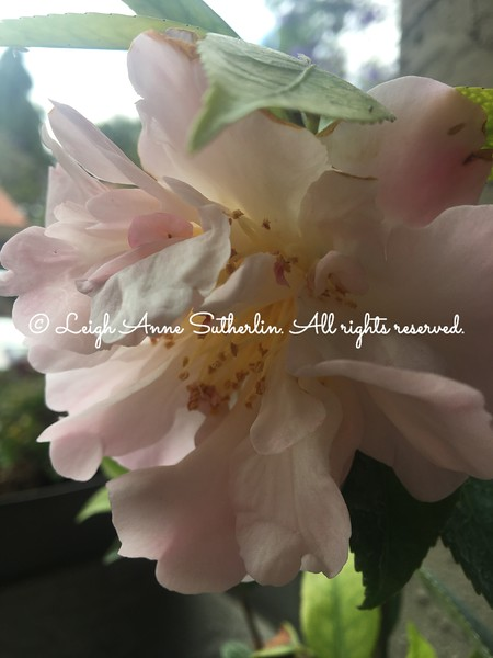 High-fragrance camellia