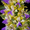 Aerides houlletiana Orchid