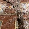 Malvern Collegiate and tree