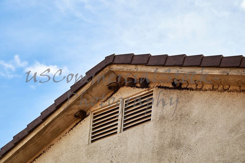 Mud Swallow's Nests on House