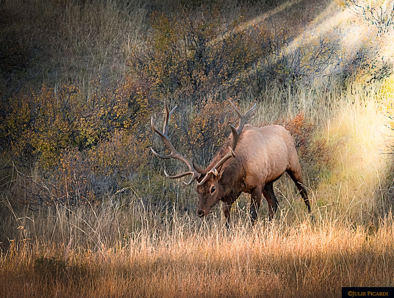 Landscape With Bull Elk in Rocky Mountain National Park, Colorado