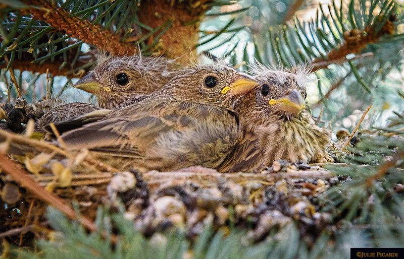 Baby Finches in our spruce tree.