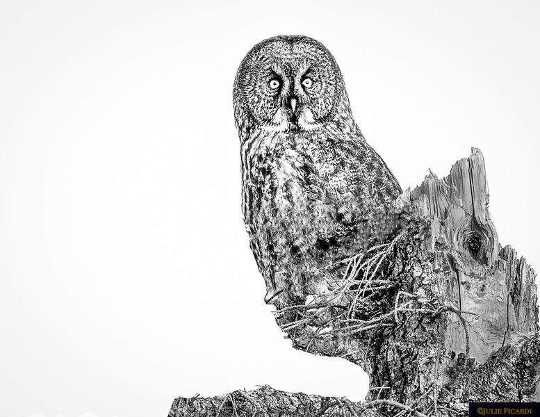 Great Grey Owl Black & White