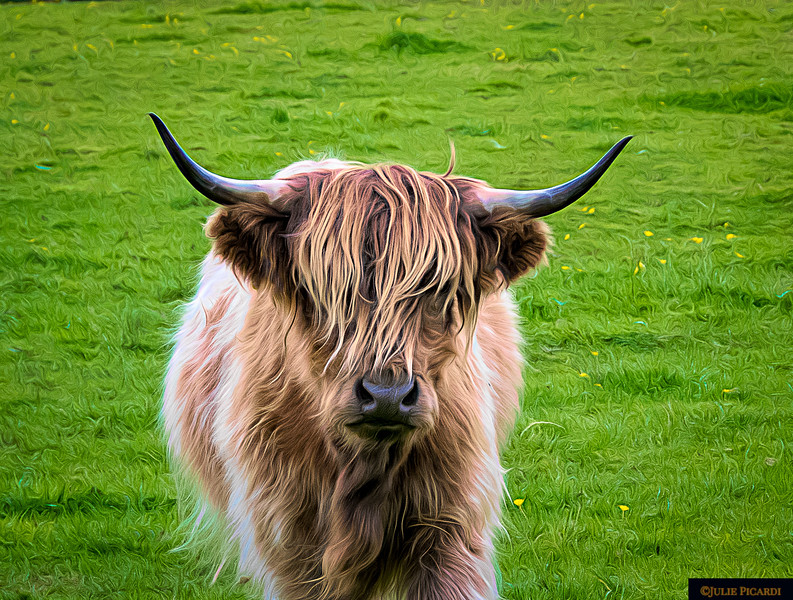 Highland Cow Portrait Color