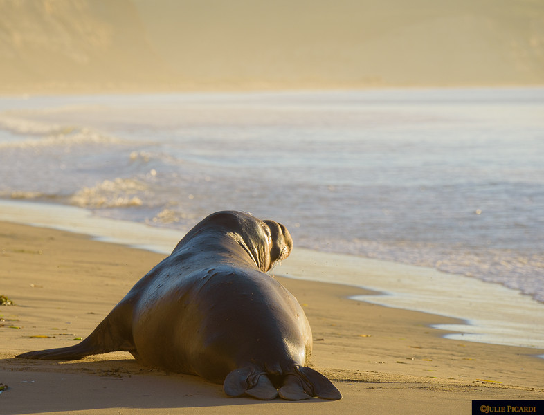 Elephant seal bull deciding whether or not to go for a morning swim at Drake's Beach,.
