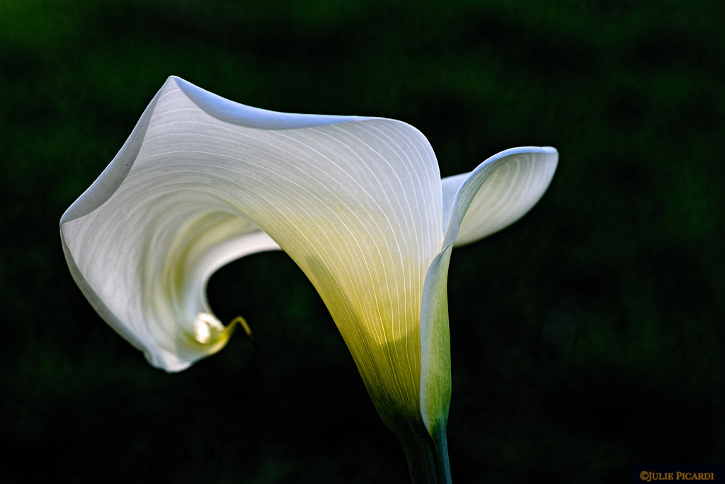 Wild Calla Lily, Point Reyes National Seashore, CA