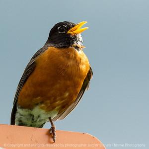 015-bird_robin-ankeny-25may19-03x03-006-350-0534