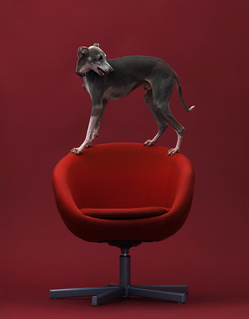 Italian Greyhound on a red chair