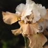 Amber and White Iris