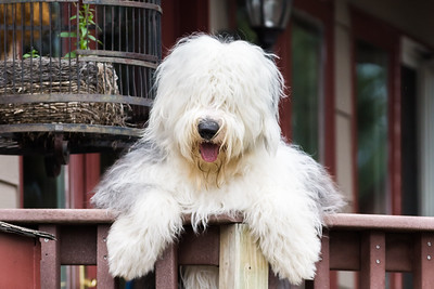 Old English Sheepdog Greeting