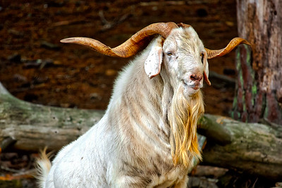 The Owner of Goat Island