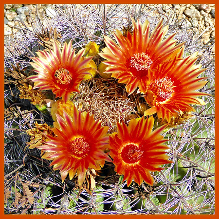 BMZahno_-_Blooming_Barrel_Cactus