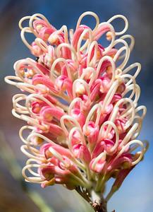 Banksia blooming