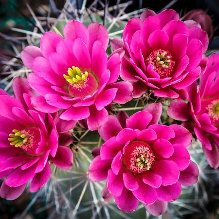 Barra_Cactus_Bloom_1