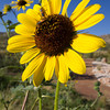 Sunflower, Alibates Flint Quarry, Texas