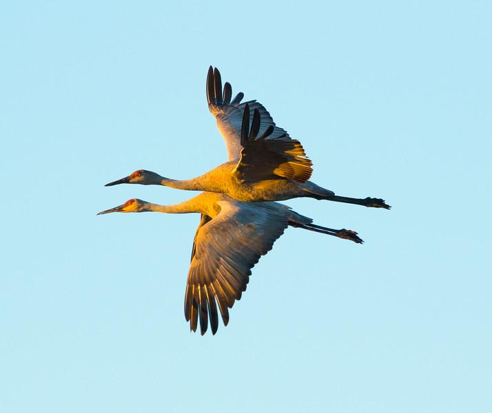 Sandhill cranes 7 (October 2016)