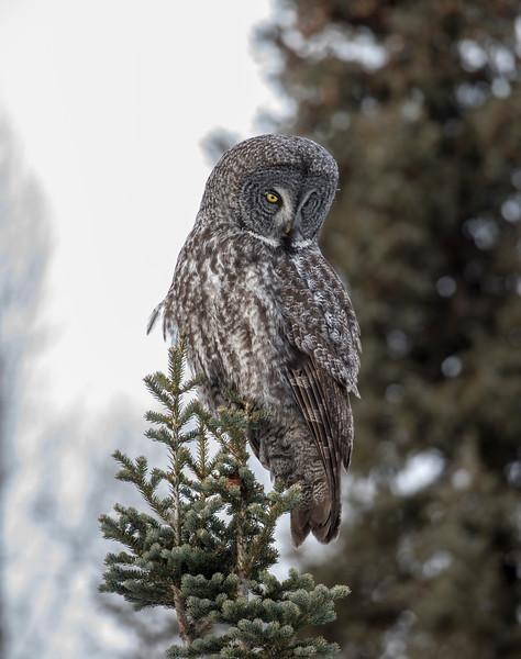 Great Gray Owl 19 (12-20-2017)