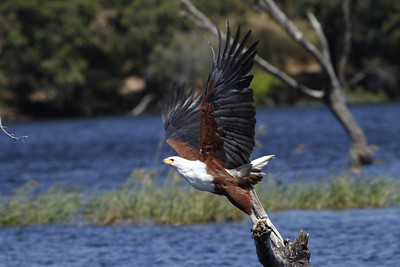 Fish Eagle taking off from Chobe River in Chobe National Park, Botswana. 2012