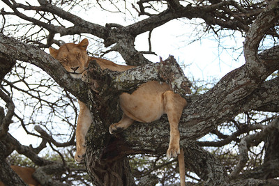 Lioness taking a snooze after a great meal.  Serengeti National Park, Tanzania.  2011