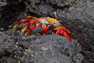 Sally Lightfoot Crab   Espinola, Galapagos 2014