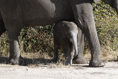 Young elephant beneath its mother.  Chobe National Park,  Botswana. 2012