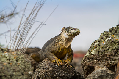 Land Iguana on South Plaza Island, Galapagos, Ecuador     2014