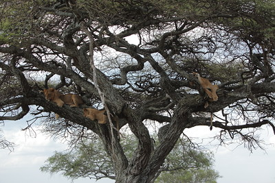 Tree climbing Lions in Serengeti National Park, Tanzania.  2011