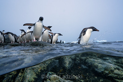 A colony of fledlging Adélie Penguins, heading out to sea for the first time.