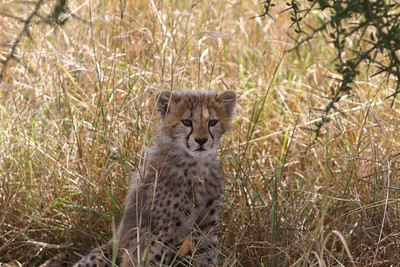 Cheatah Cub in  Serengeti National Park, Tanzania.  2011