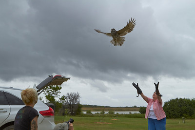 Sweet Thing sets Katniss, Barred Owl rehabilitated at Wild Bird Rescue Wichita Falls, free at our ranch.  2012