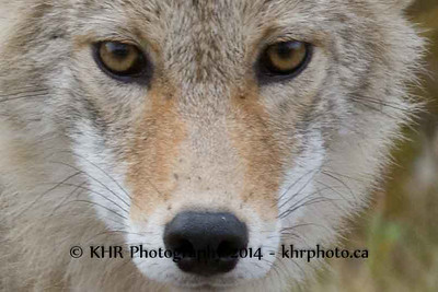 Curious Coyote
