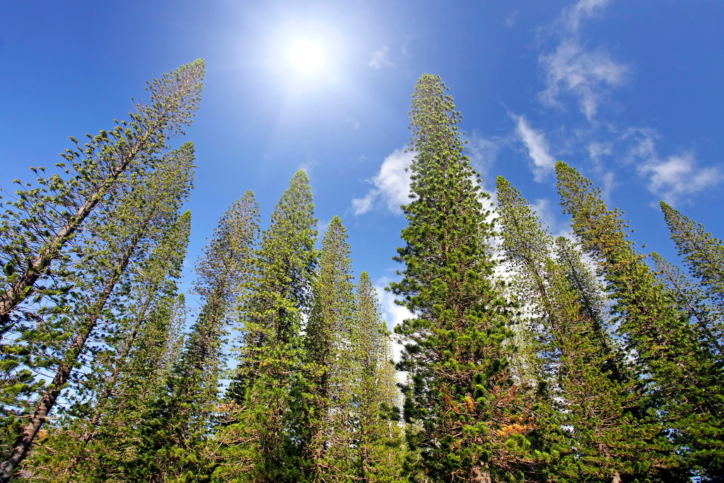 Sun Over Cook Pines - Dole Park - Lana'i, Hawaii