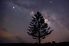 Cook Pine beneath the Milky Way.   Beautiful clear night on the island of Lana'i.