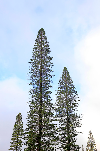 Cook Pines - Lana'i, Hawaii