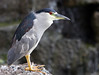 Black Crowned Night Heron ('Auku'u) -  Lana'i, Hawaii