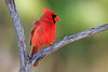 Kentucky Cardinal - Lana'i, Hawaii