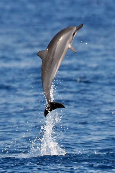 Spinner Dolphin - Hulopo'e Bay - Lana'i, Hawaii