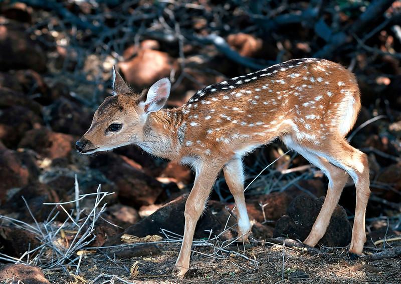 Axis Deer - Lana'i, Hawaii