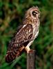 Hawaiian Owl (Pueo) - Lana'i, Hawaii