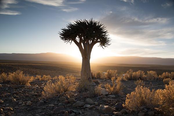 Quiver Tree, Karoo 2017