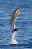 Spinner Dolphin Leap - Island of Lana'i