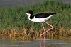 Hawaiian Stilt - Maui, Hawaii